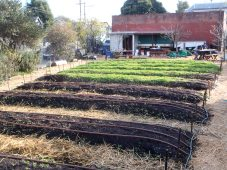 Drip irrigation tubing in beds.