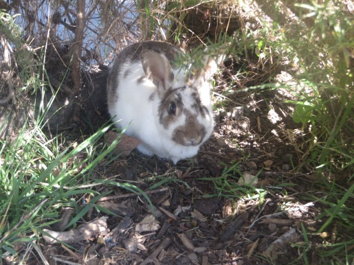 Local neighborhood rabbit hiding from the associates.
